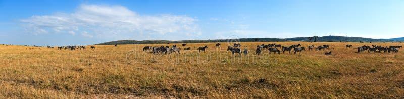 Zèbre dans le masai Mara photographie stock libre de droits