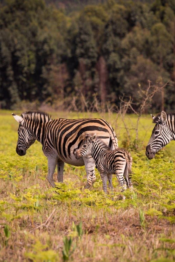 Zèbre de bébé avec la mère dans la prairie, Souaziland, réserve naturelle de Mlilwane images stock