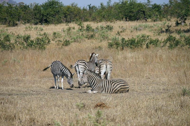 Zèbre de Burchell d'Africain dans le jeu de région sauvage photos stock
