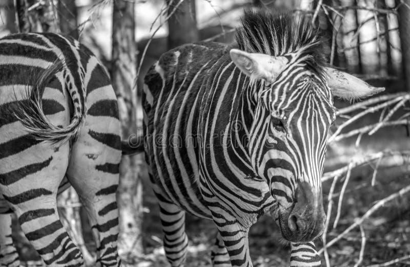Zèbre de deux manières sur Sunny Summer Day dans un jardin zoologique images libres de droits