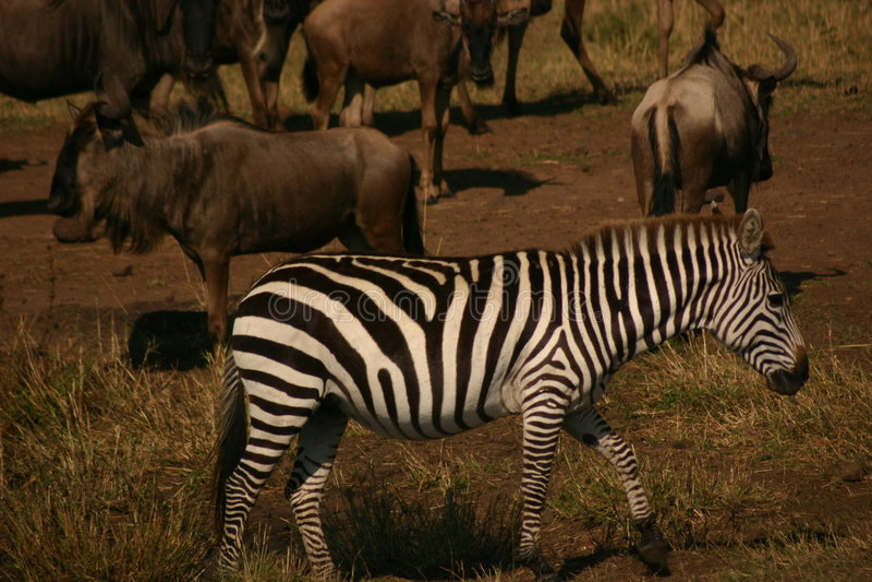 Zèbre de Mara image libre de droits