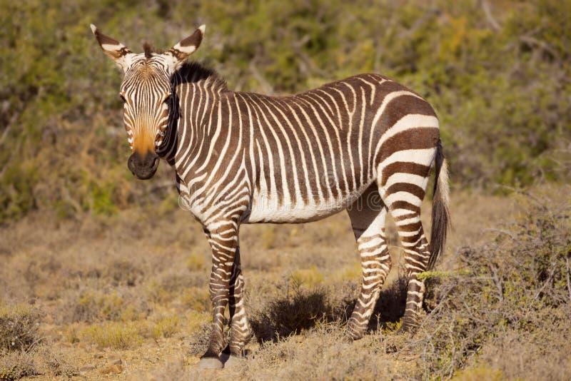 Zèbre de montagne de cap en parc national de Karoo, Afrique du Sud image stock