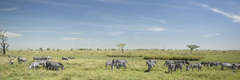 zèbre de serengeti de troupeau image stock
