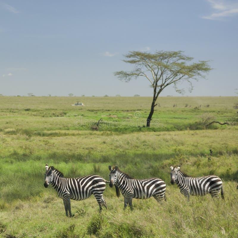 zèbre de serengeti de troupeau photo libre de droits