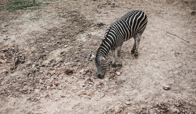 Zèbre de vue supérieure dans le zoo photo stock