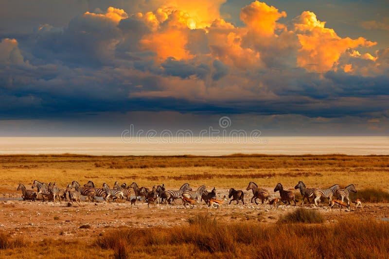 Zèbre et coucher du soleil de soirée de tempête dans la casserole d'Etosha en Namibie Nature de faune, safari dans la saison sèch image libre de droits