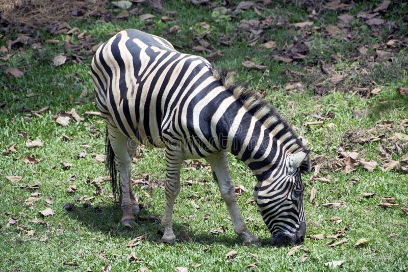 Zèbre frôlant dans le zoo photo stock