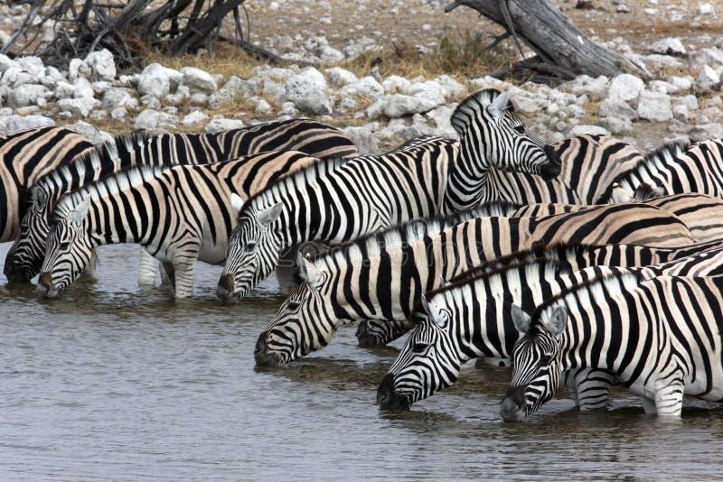 Zèbre - Namibie image stock