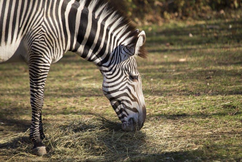Zèbre (quagga d'Equus) photos libres de droits