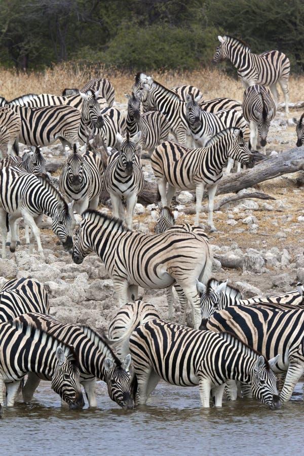 Zèbre (quagga d'Equus) - Namibie photos stock