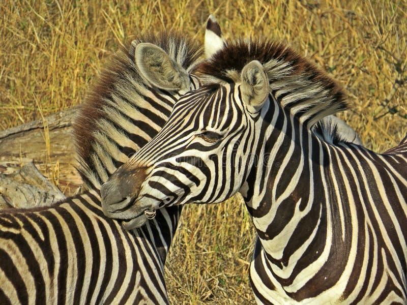 Zèbre sauvage, ayant une vie sociale, Afrique du Sud photographie stock