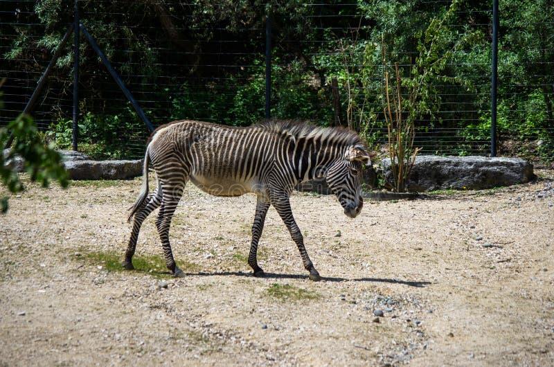 Zèbre seul marchant pendant le jour ensoleillé de zoo de Zurich photographie stock
