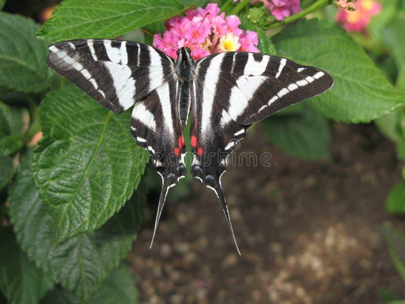 Zèbre Swallowtail 2 images stock