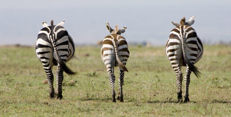 Zèbre symétrique au Kenya photographie stock libre de droits