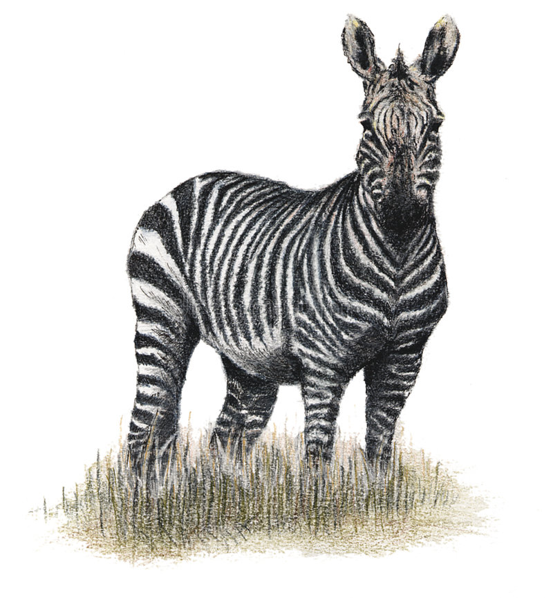 Download Zèbre tiré illustration stock. Illustration du dessiné, mammifère - 64665