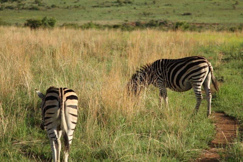 Download Zèbres image stock. Image du faune, raies, sauvage, herbe - 56478485