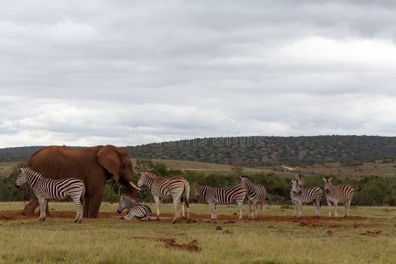 Zèbres attendant l'éléphant pour partir photos stock