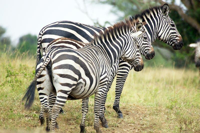Zèbres (burchelli d'Equus) photo libre de droits
