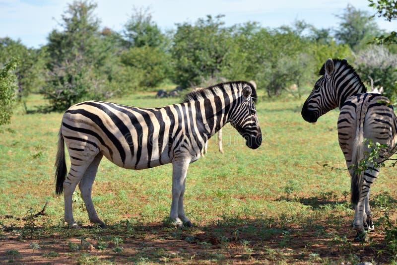 Zèbres dans Etosha, Namibie photo libre de droits