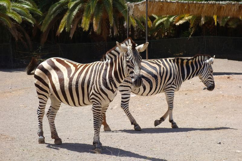Zèbres dans le zoo d'île de Fuerteventura photos stock