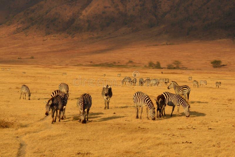 Zèbres dans Ngorongoro image stock