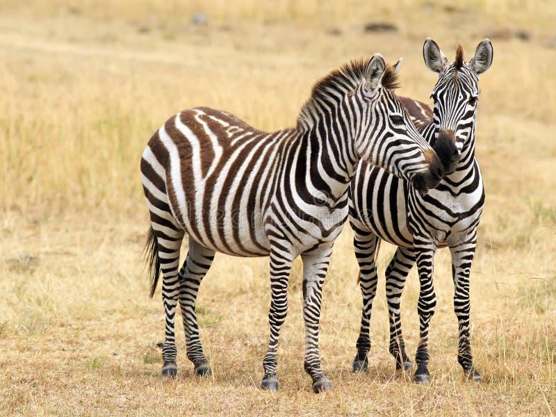 Zèbres de Mara de masai photo stock