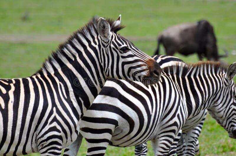 Zèbres de masai Mara 9 images stock