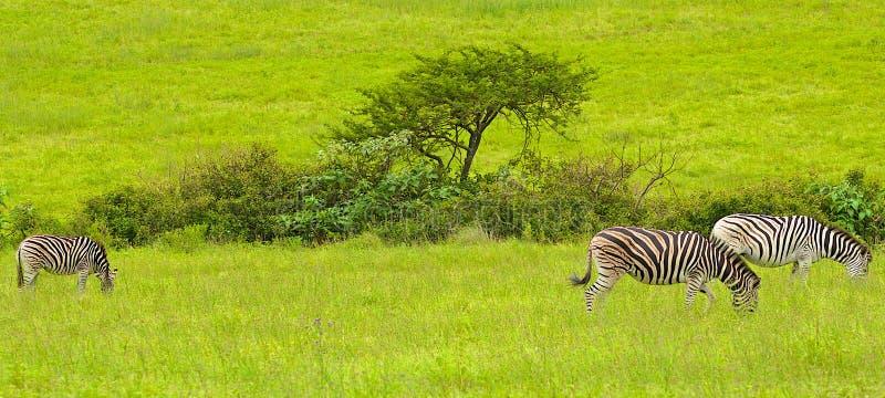 Zèbres en Afrique du Sud image libre de droits
