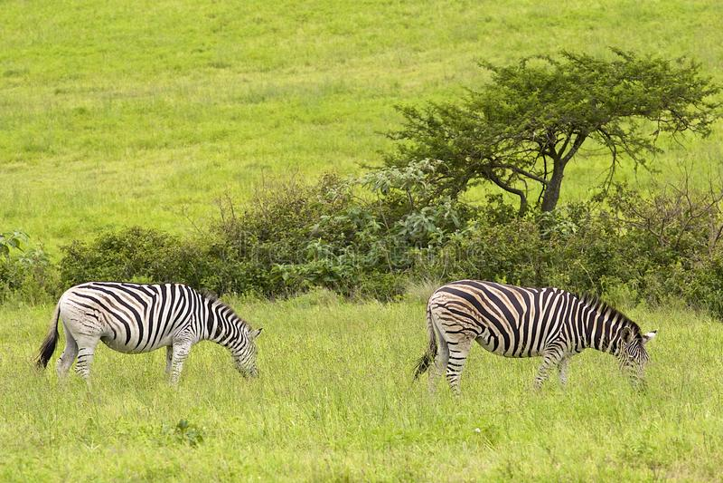 Zèbres en parc de safari, Afrique du Sud images stock