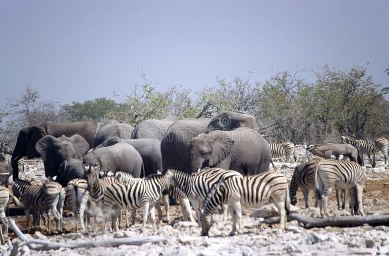 Zèbres et éléphants photo stock