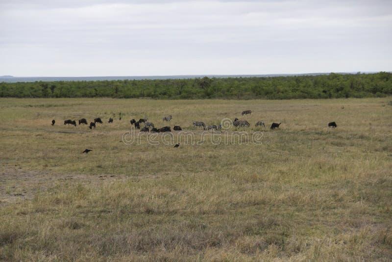 Zèbres et gnou frôlant, parc national de Kruger, Afrique du Sud images stock