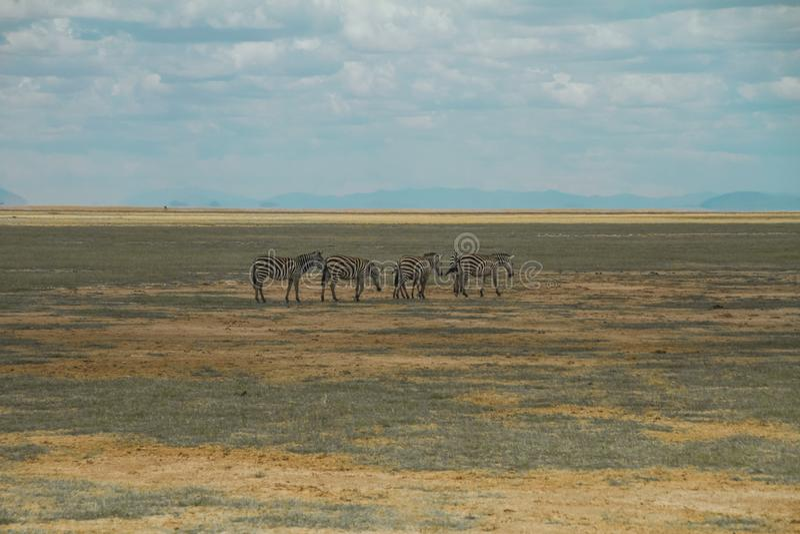 Zèbres et paysages au parc national Afrique Kenya d'Amboseli image libre de droits