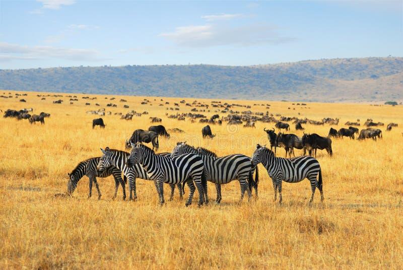 Zèbres et wildebeest d'antilopes dans la savane photo libre de droits