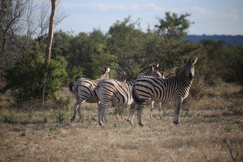 Zèbres frôlant le long des plaines de l'Afrique photographie stock