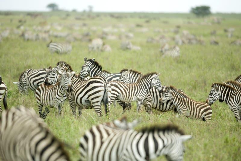 zèbres ordinaires de serengeti de troupeau photographie stock