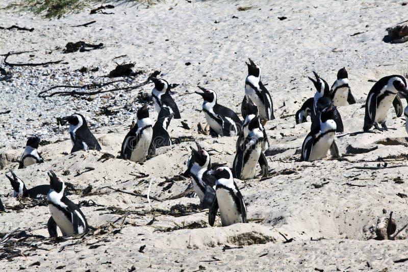 Züchtend afrikanische Pinguine an den Fluss-Steinen setzen, Umhang auf den Strand stockfotografie