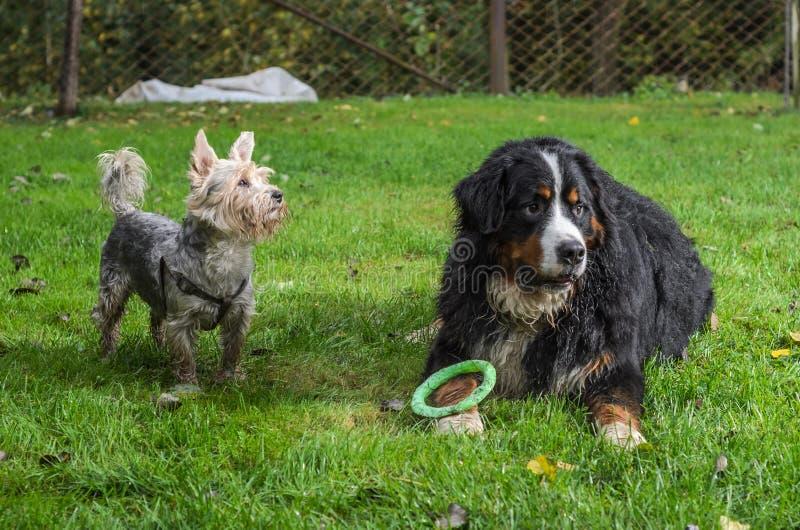 Züchtendes Hund-Bernese-sennenhund Hunde- und Yorkshiresterrier Spiel auf dem Gras während eines sonnigen Tages gehen lizenzfreie stockfotos