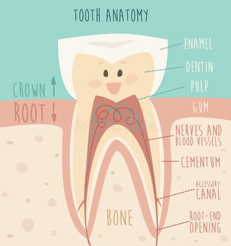 Ząb anatomia, śmieszna ząb ilustracja (pojęcie zdrowi zęby) royalty ilustracja