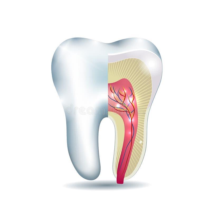 Ząb anatomia ilustracji