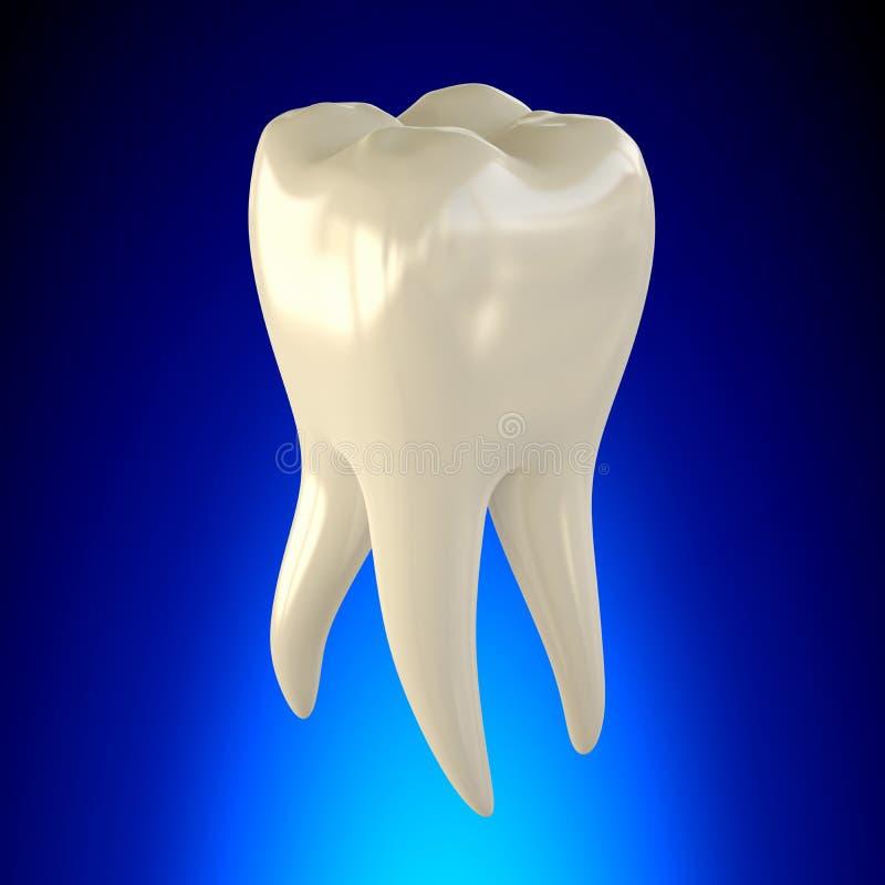 Ząb anatomii Molarny Zdrowy pojęcie ilustracja wektor