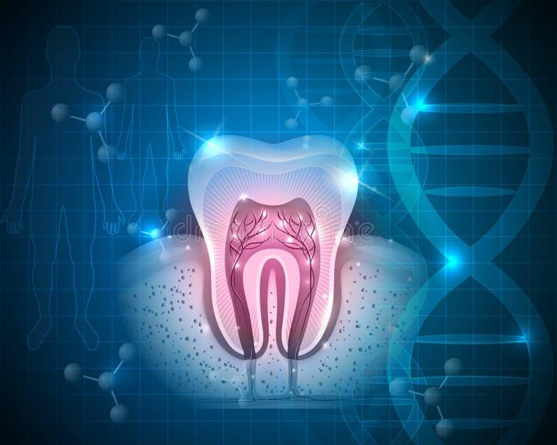 Ząb z korzeniami royalty ilustracja