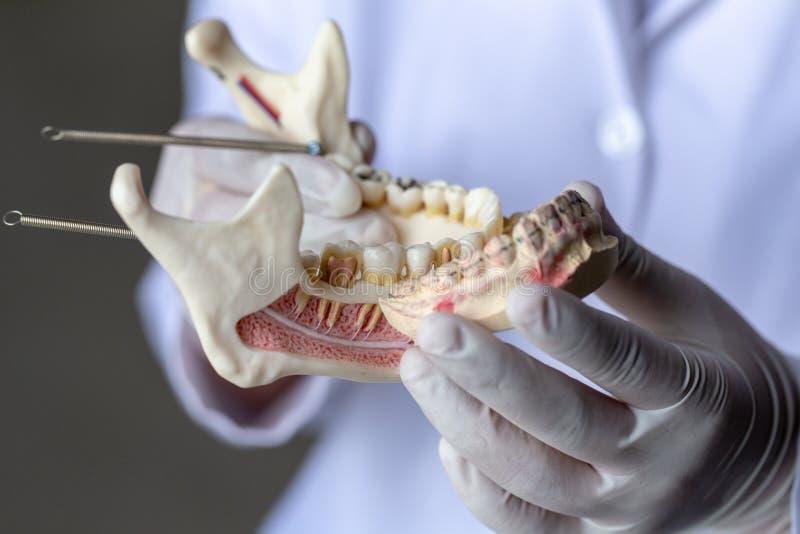 Zębu model dla edukaci w laboratorium fotografia royalty free