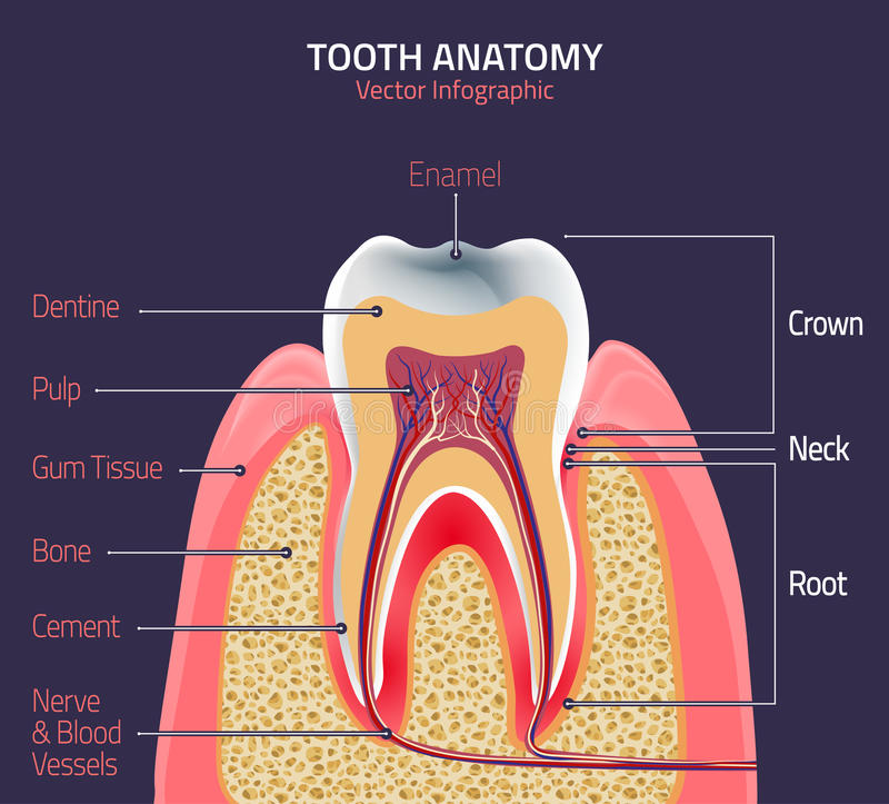 Zębu wektoru anatomia royalty ilustracja