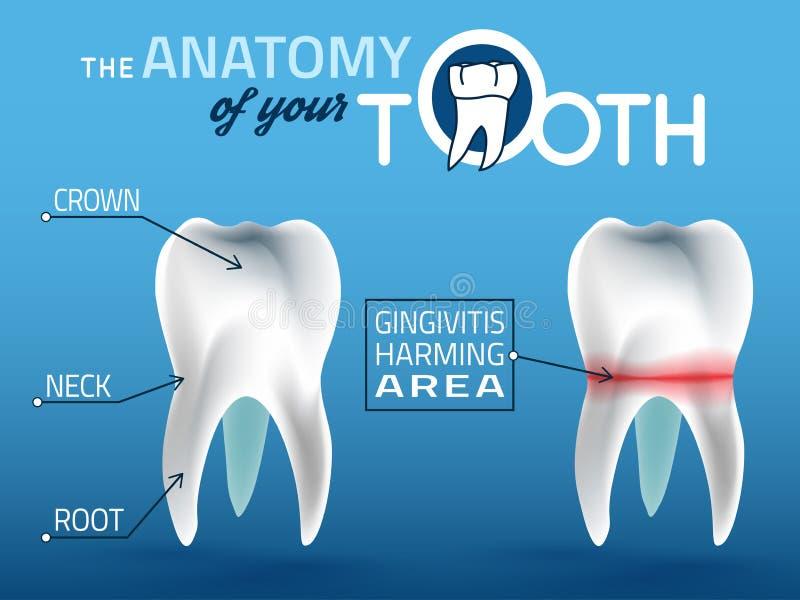 Zębu wektoru anatomia ilustracji