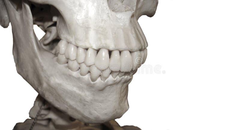 zęby fotografia stock