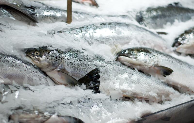 złap świeżego łososia zdjęcie stock