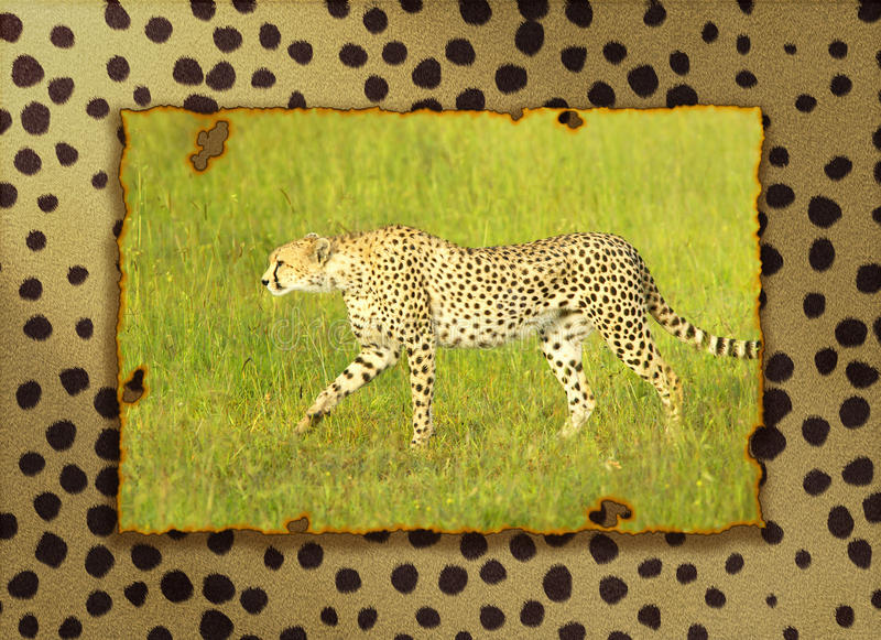 Złożony wizerunek geparda odprowadzenie przez wysokich obszarów trawiastych w Kenja, Afryka ablegrował na gepardzie obrzuca tło obrazy royalty free