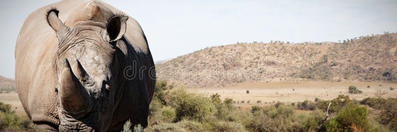 Złożony wizerunek nosorożec pozycja na zakurzonej ziemi obrazy stock