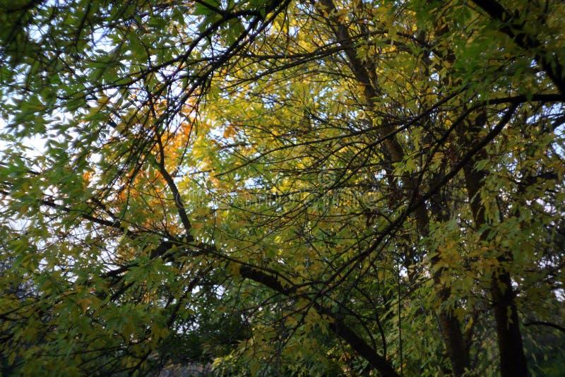 złociści jesień liść niektóre drzewa obraz stock