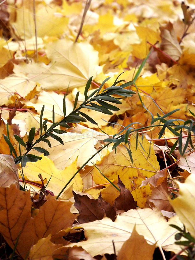 Złociści kolorów żółtych liście na ziemi zdjęcia royalty free